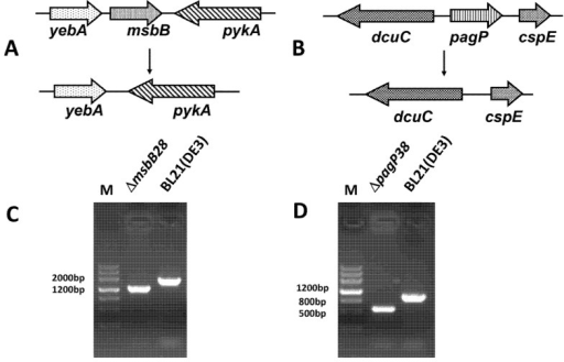 Construction of BL21 (DE3) mutant strain. (A) Map of deletion mutant resulting from knockout of msbB gene; (B) Map of deletion mutant resulting in knockout of pagP gene; (C) The identification result of ∆msbB28 mutant, the result shows that msbB gene was deleted; (D) The identification result of ∆pagP38 mutant, the result shows that pagP gene was deleted.