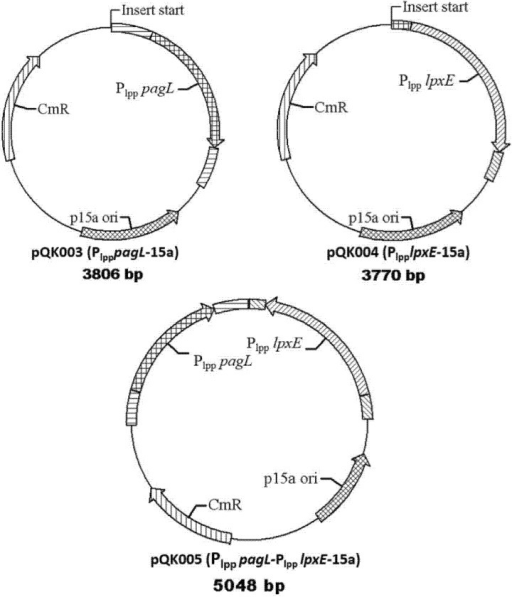 Plasmid maps used in this study. Maps of three expression plasmids constructed in this study. Plasmid pQK003 was constructed for expressing pagL to decrease the fatty acyl chain number. Plasmid pQK004 was constructed for expressing lpxE to remove 1-phosphate group in lipid A. Plasmid pQK005 was constructed for expressing pagL and lpxE to confer both of these functions.