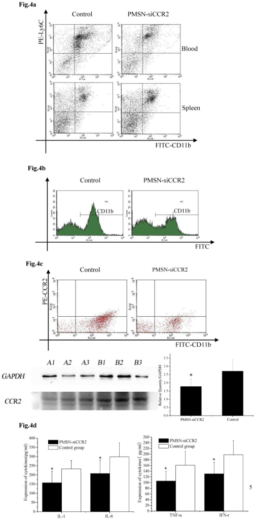 The effect of PMSNs-siCCR2 on inflammatory infiltration post-AMI (n=12). (a), Flow cytometry reveals a different pattern of CD11b+Ly6Chigh in the circulation and the spleen of AMI mice one day after treatment with PMSNs-siCCR2. Significantly reduced counts of the cells were shown in the siCCR2 group. (b), Flow cytometry revealed reduced CD11b-positive cells in the infarct zones of AMI mice one day after treatment with PMSNs-siCCR2. The expression of CCR2 in the infarction was further determined by Western-blot (A1~3 in the PMSNs-siCCR2 group, B1~3 in the control). (c), FACS analysis of the CCR2 protein levels on the spleen CD11b+Ly6Chigh monocytes of the AMI mice confirmed the decreased levels of CCR2 in the PMSN-siCCR2 group. (d), Levels of the inflammatory cytokines IL-1, IL-6, TNF-α and IFN-γ in the serum of AMI mice after treatment with PMSNs-siCCR2 were determined using immunosorbent assays (ELISAs), *p<0.05 vs. the corresponding control group.