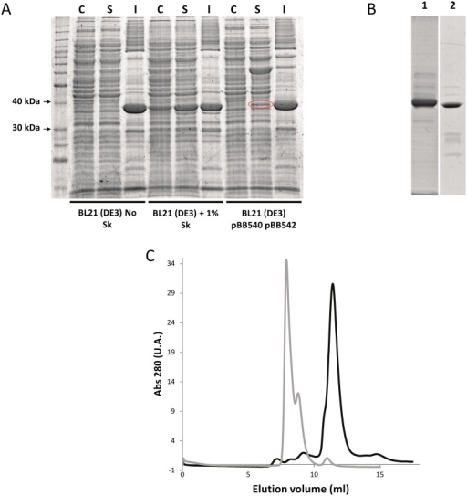 Expression and purification of recombinant human AKR1B15.(A) SDS-PAGE analysis of protein expression, showing that AKR1B15 was predominantly associated with the insoluble fraction of BL21(DE3) cell lysates. Treatment with 1% (w/v) sarkosyl (Sk) provided a much higher amount of AKR1B15 in the soluble fraction. In the case of BL21(DE3) pBB540 pBB542 cells, a protein band which is highlighted with a red oval was identified as human AKR1B15 by Peptide Mass Fingerprinting. Lanes: C, control for the soluble fraction not induced by IPTG; S, soluble fraction; and I, insoluble fraction. (B) SDS-PAGE analysis of protein purification, showing fractions eluted from the nickel affinity column chromatography using 100 mM imidazole. Lanes: 1, Protein eluted from the soluble fraction of BL21(DE3) + Sk; and 2, Protein eluted from the soluble fraction of BL21 (DE3) pBB540 pBB542. (C) Elution profile from the Superdex 75 10/300 GL column chromatography. AKR1B15 purified from soluble fraction of BL21(DE3) + Sk and from soluble fraction of BL21(DE3) pBB540 pBB542 are shown in grey and black lines, respectively. Major peaks eluting at 7.9 and 11.4 mL correspond to aggregated (132 kDa) and monomer (37 kDa) protein, respectively.