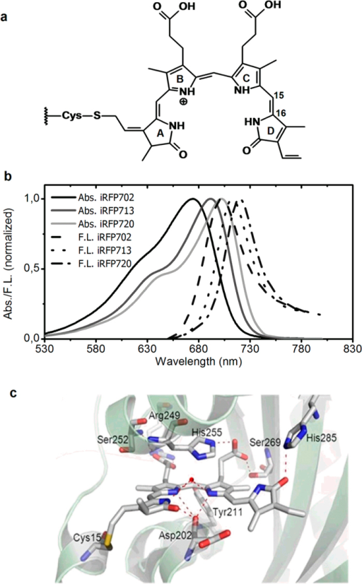 Properties of iRPF702, iRFP713 and iRFP720.(a) Biliverdin attachment to Cys in PAS domain of BphPs and these iRFPs; (b) Steady state absorption and emission spectra. (c) Close-up of the biliverdin chromophore binding pocket of RpBphP2 (PDB code 4E04, ref. 19). Note that the model structure is only approximate.