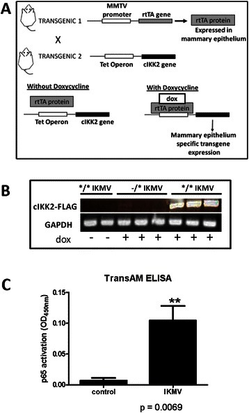 Transgenic mouse model targets expression of cIKKβ specifically to mammary epithelium.a Diagram shows crossing of two transgenic strains necessary to generate the double transgenic (*/*) IKMV mouse model with doxycycline inducible transgene expression. Littermates lacking either one or both transgenes (*/-, −/*, or −/−) were used throughout our studies as littermate controls. For characterization, IKMV and control littermates were treated with doxycycline (2 g/L) for 3 days and mammary tissue collected for the following assays: b RT-PCR of whole mammary homogenates confirms the FLAG-tagged transgene is dox-inducible. Upon dox-treatment, the transgene was expressed in the */* double transgenic IKMV animals, but absent in dox-treated, single transgenic control mice (−/*). Double transgenic */* IKMV mice that did not receive dox-treatment showed no detectable transgene expression. c TransAM ELISA assay using IKMV and control mammary nuclear homogenates shows that nuclear p65 in IKMV samples actively binds the NF-κB DNA consensus sequence (n = 4 control, n = 4 IKMV samples; **p = 0.0069)