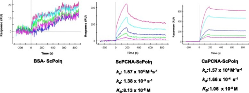 Physical interaction of CaPCNA with ScPolη: About 25-500nM of ScPolη was injected on CaPCNA or ScPCNA or BSA immobilized GLC chip as indicated with running buffer at a flow rate of 50 μl/min for 180 s with a 600 s dissociation phase. The dissociation constants were determined.
