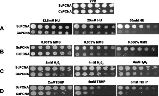 Sensitivities of S. cerevisiae strains to HU and DNA damaging agents. Cells of genomic POL30 deletion yeast strains containing YEP-ADH1p-ScPCNA or YEP-ADH1p-CaPCNA from an overnight YPD culture were serially diluted and spotted onto YPD plates without or with indicated concentrations of HU, MMS, H2O2 and TBHP. The plates were incubated at 30 °C for 3 days and then photographed.