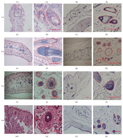 Short-term study of DPC-Ca and DPC-Ba microcapsules transplanted into rat ears. Large hair follicles formed after Ca microcapsule implantation at weeks 1–4 (a, b, e, f, i, j, m, and n). At 2 weeks, large DP formed near the transplanted site without the surrounding DPC microcapsule (e, f). No abnormal hair follicle structures were found in Ba microcapsules at 1 to 2 weeks after transplantation (c, d, g, and h). At 3 to 4 weeks, Ba (k, l, o, and p) microcapsules produced large hair follicles but fewer compared with Ca (i, j, m, and n) microcapsules. (Bar = 100 μm.)