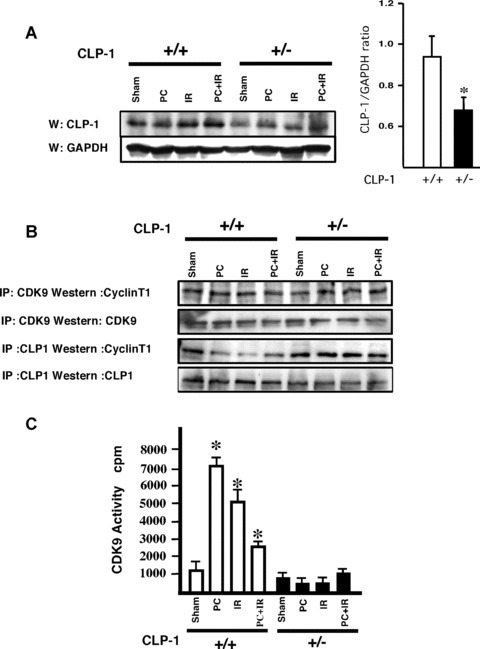 Changes in CLP‐1 expression level modulates the pTEFb complex activity. (A) Western blot shows the level of CLP‐1 protein expression in CLP‐1 +/+ and CLP‐1 +/− hearts during each stress. The bar graph indicates the ratio between CLP‐1 and GAPDH expression, and shows a decrease in expression level of CLP‐1 protein in CLP‐1 +/− hearts. This measurement was performed in quadruplicate and the results are shown as mean ± S.E.M. per group. *P < 0.05 versus CLP‐1+/+. (B) Association of CLP‐1 with cyclin T was determined by immunoprecipitation of extracts with antibodies against Cdk9 or CLP‐1 followed by Western blotting with cyclin T1 antibody. (C) Cdk activity was measured as described in Materials and Methods. The Cdk9 activity measurement was performed in triplicate and the results are shown as mean ± SEM per group. *P < 0.05 versus control. (D) Extracts as above were used for Western blotting using antibodies for phosphoserine 2 and 5 and Pol II. Graph bars show the relative increase or decrease in phosphoserine 5 and 2 versus total Pol II expression. At least three experiments were performed and a representative figure is shown. *P < 0.05 versus control CLP‐1+/+, **P < 0.05 versus control CLP‐1 +/−, #P < 0.01 versus control CLP‐1+/+.