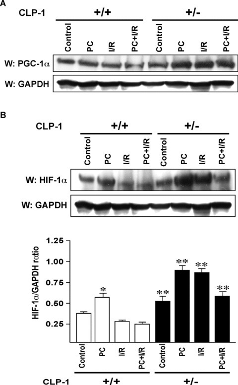 Expression of PGC‐1α and HIF‐1α in heart‐tissue of CLP‐1 heterozygous mice. (A) The expression levels of PGC‐1α in the protein heart extracts from control, preconditioning (PC), ischemia/reperfusion (I/R) and I/R with PC groups of wild‐type and in CLP‐1 +/− hearts was determined by Western blot analysis. GAPDH was used as loading control. (B) We use the same extracts as in Figure 4A to determine the expression levels of HIF‐1α, and as before GAPDH was used as loading control. The experiment was repeated three times and a representative experiment is shown. *P < 0.05 versus wild‐type control, **P < 0.01 versus wild‐type control. (C) The ubiquitination profile of HIF‐1 was examined by using heart extracts from each group. The extracts were used for immunoprecipitation with anti‐ubiquitin antibody followed by Western blot with an antibody against HIF‐1α. (D) The interaction between HIF‐1α and SUMO‐1 was determined by immunoprecipitations using anti− HIF‐1α antibody followed by Western blotting with anti‐SUMO‐1 antibody. Western blot with anti− HIF‐1α antibody served as loading control. (E) Western blot was performed as in (A) to evaluate expression of SUMO‐1. GAPDH was used as loading control. (F) Expression of pyruvate dehydrogenase kinase‐1 (PDK‐1) was evaluated by Western blot using antibody against PDK‐1. The representative figure shows increase in PDK‐1 expression in extracts from CLP‐1 +/− mice hearts subjected to stress. GAPDH expression was used as loading control.