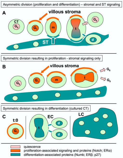 Structure-related arrangement of asymmetric division (proliferation and differentiation) of villous CT cells. [A], symmetric division resulting in proliferation [B], and symmetric division resulting in differentiation [C]. m, metaphase; t, telophase; d, differentiating cell; EC, early trophoblast culture; LC, late culture. Relevant references and details are given in text.