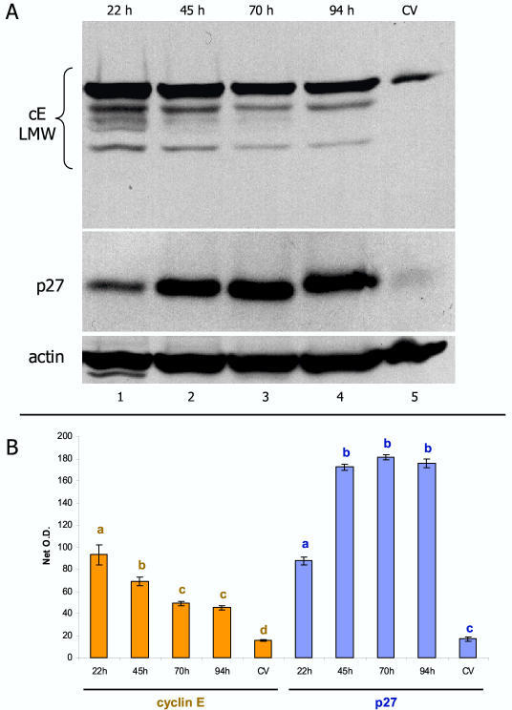 Representative comparison of cyclin E and p27 protein expression in vivo and in vitro. [A] Normal placenta shows a weak expression of cyclin E low molecular weight variants (cE LMW, lane 5). Early trophoblast culture shows high cE LMW expression (lane 1) followed by gradual diminution (lanes 2–4). p27 expression is also weak in vivo, but gradually increases during trophoblast cultivation. [B] Quantitative evaluation of cE LMW and p27 blots. Each column represents mean from six net O.D. measurements ± SD. Different column superscripts (with identical color) indicate P < 0.001.