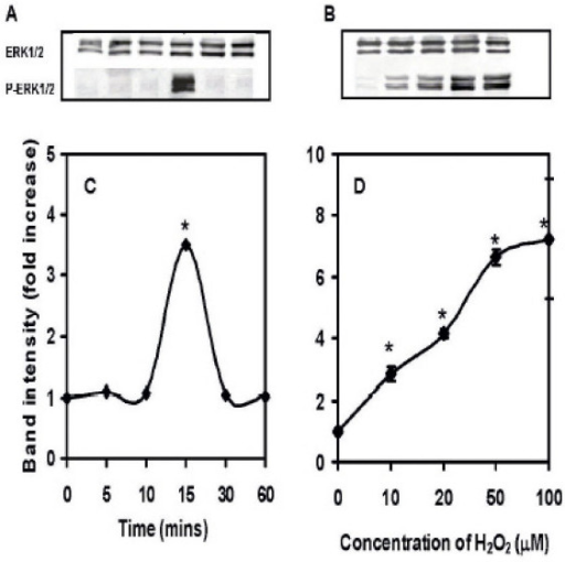 Dose and time dependent induction of ERK1/2 in AR42J cells. Cell lysates were loaded onto an SDS gel, separated by electrophoresis, blocked in 1% fat free milk and probed with antibodies to total and phosphorylated (p) ERK1/2. Horseradish peroxidase-coupled anti IgG was used as a secondary antibody. Bands were visualized with ECL-plus and quantified using a STORM Imager. The data shown as means ± SEM of n = 5 experiments. A: Induction of ERK1/2 in cells exposed to 20 μM H2O2 for 10–60 min compared to control untreated cells. B: Induction of ERK in cells exposed to 10–20 μM H2O2 for 15 min. C: Band intensity showing the fold increase in the time dependent induction of ERK1/2. D: Band intensity showing the fold increase in the dose dependent induction of ERK1/2.