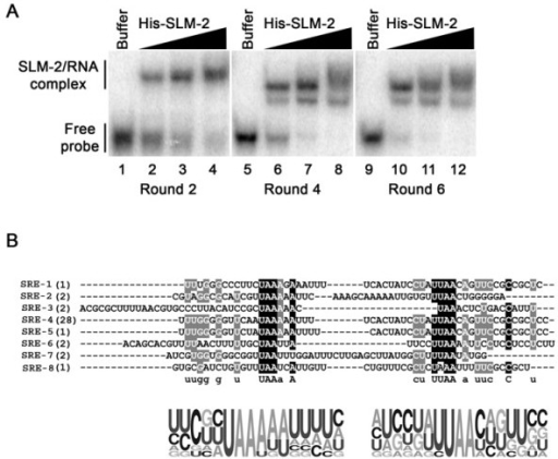 SLM-2 RNA ligands identified. (A) EMSAs of pooled RNAs identified in rounds 2, 4 and 6 using increasing concentrations of His-SLM-2. The protein/RNA complex was separated from the free probe on a native PAGE. The migration patterns of unbound RNAs (free probe) and protein bound RNAs (SLM-2/RNA complex) are indicated on the left. (B) The sequences of 8 unique RNAs bound to SLM-2 after six cycles of SELEX. Both identified motifs are aligned and black undermark. Illustrated, underneath the sequences is the probability matrix (graphic logo) based on all the 8 different sequences, depicting the relative frequency of each residue at each position within the selected motif.