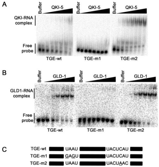 GLD-1 binding to the tra2/gli element analysis. (A) RNA species tested in (B) and (C) are shown. The black bars denote sequences that are unaltered between the wild-type and the mutant versions. EMSAs of the tra2/Gli element with increasing concentrations of GLD-1 (B) and QKI (C) (by a factor of 2 from 2 nM) or with buffer alone. Migration patterns of unbound RNAs (free probe) and protein/bound RNAs (GLD-1/RNA or QKI/RNA complexes) are indicated on the left.