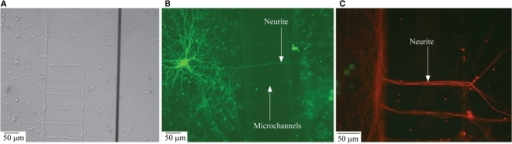 Structural connectivity between the two compartmentalized neuronal sub-populations. (A) Phase contrast image of neurite ladder structure intact after the removal of PDMS structures from the MEA surface; (B) Transfection image of a neurite grown across the microchannels connecting the compartments; (C) Immunofluorescence image of neurite structure following the microchannel placement.
