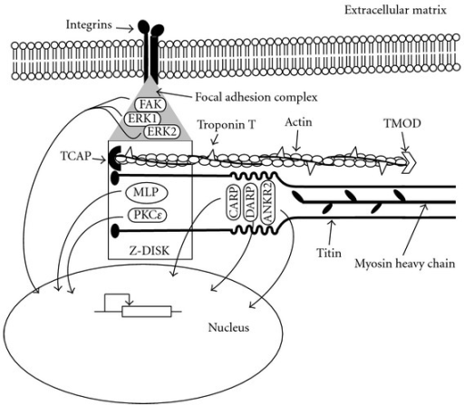 Schematic representation of the structures of the myofibrils responsible of contraction, sensation, and transduction of mechanical stimuli in the developing heart. Force is generated by the thick filaments formed by myosin heavy chain (amhc, MYH6, MYH7) associated with myosin regulatory (Myl7) and essential light chains and their interaction with the thin filaments, formed by actin (ACTC1, cfk) and troponin T (Tnnt2), TCAP and TMOD, amongst others. Titin spans a half of the sarcomere, from the Z-Disc (where it interacts with TCAP and MLP) to the M-band. One of its intermediate segments, the N2A-region, acts as a mechanotransducer and binds CARP, DARP, and ANKR2. The peripheral myofibrils of the cardiomyocytes are linked to integrins embedded in the cell membrane (sarcolemma) by means of the focal adhesion complexes of the costameres, formed by FAK ERK1 and ERK2, amongst others. In response to mechanical stimulation, proteins bound to titin (CARP, DARP, and ANKR2), proteins of the Z-Disc (MLP, PKCε), as well as FAK, ERK1, and ERK2, located to the focal adhesion complexes, translocate to the nucleus, where they interact with cardiac transcription factors to modify gene expression.