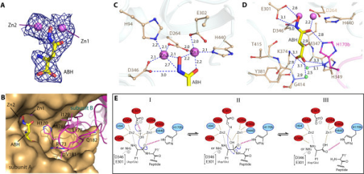 Active site of hDNPEP. (A) /FO/- /Fc/ omit map contoured at 3σ for zinc ions and ABH molecules. (B) Insertion of the β8-β9 loop from the neighboring subunit (magenta) completes the active site construction. Bonding interactions at (C) the binuclear metal catalytic centre and (D) the P1 substrate pocket in the hDNPEP structure. (E) Proposed catalytic mechanism for hDNPEP. The substrate peptide N-terminus is shown in both amine and its protonated form, which can engage in different interactions.
