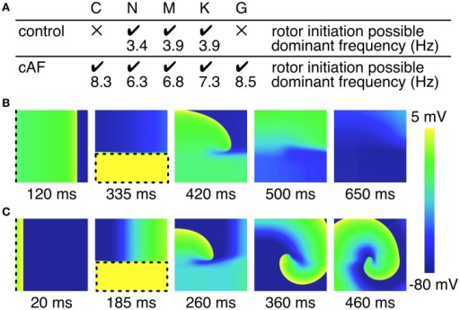 Initiation of rotors in 2D tissue patch. (A) Overview of rotor initiation success and corresponding dominant frequency. Control C and G model failed to initiate a rotor in the 2D patch (100 × 100 × 0.1 mm). Higher dominant frequencies could be observed in case of cAF. (B) Screen shots of failed rotor initiation in the control C model, where the WL was too long related to the patch size. (C) Successful rotor initiation in the cAF C model. Dashed lines indicate stimulus sites and area, respectively.