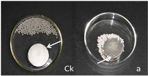 The tobacco seeds of MSYY85 pelleted with T1 method were attracted by a small magnet.Ck: the control seeds pelleted without magnetic powder and fluorescent materials did not be attracted by a magnet; a: the seeds pelleted with T1 (2 g seeds pelleted with 15 g bentonite and 84 g blend powder which consisted of 79.6 g talc, 0.2 g fluorescein and 4.2 g magnetic powder) were attracted by a magnet; the white arrow showed a small magnet.