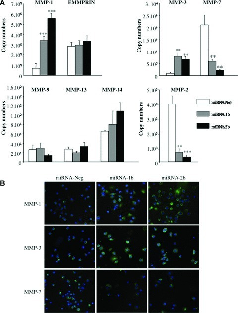 Effects of TFPI-2 down-regulation on metalloproteinase and EMMPRIN in non-small lung cancer cells. (A) MMP and EMMPRIN transcript levels were quantified using real-time RT-PCR in lung cancer cells stably transfected with miRNA-1b and -2b targeting TFPI-2 mRNA and in miRNA-Neg clone cells. The copy numbers of each transcript were normalized to 106 copies of β-actin. Results represent the mean ± S.E.M. from four independent mRNA extractions and real-time RT-PCR performed in triplicate. (*P < 0.05, compared with the miRNA-Neg clone; **P < 0.001; ***P < 0.0001, Student t-test). (B) Immunofluorescence staining of miRNA-1b, -2b and miRNA-Neg clones using monoclonal antibodies against MMP-1, -3 and -7 (original magnification, ×40).
