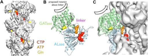Implications of the CtpS filament structure for the mechanism of enzyme inhibition.(A) The binding sites for ATP, CTP, and glutamine are all solvent accessible in the filament, suggesting that they are freely exchangeable in the filament form. (B) The approximate direction of the putative rotation of the glutaminase domain toward the amidoligase domain (arrow), which is predicted to create a shorter channel for ammonia diffusion. (C) In the filament structure, such a conformational change would be sterically hindered by contacts with adjacent filament subunits.DOI:http://dx.doi.org/10.7554/eLife.03638.021