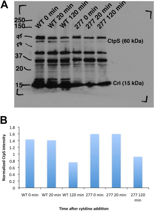 CtpS protein levels are not depleted in the CtpSE277R mutant.(A) Immunoblot probing CtpS and Crl (loading control) levels in NCM3722 kanR and CtpSE277R cells after the addition of 200 µg/ml. (B) Relative intensity of CtpS normalized to Crl levels.DOI:http://dx.doi.org/10.7554/eLife.03638.028