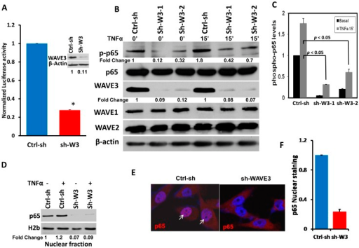 WAVE3 is required for NFκB activation.(A) Luciferase-based NFκB reporter assay in MDA-MB-231 cells with stable transfection of a non-targeting shRNA (Ctrl-sh) or the WAVE3-trageting shRNA (sh-W3). (Inset) Western blot analysis of protein lysates of cells described in (A) with anti-WAVE3 antibody. β-Actin was used as a loading control. (*, p<0.05). (B) Western blot analysis with the indicated antibodies of protein lysates from Ctrl-sh MDA-MB-231 and two different shWAVE3-derived clones (sh-W3-1 and sh-W3-2), before and after TNFα treatment (50 ng/μl for 15 min). The numbers below the p-p65 and WAVE3 panels indicate the fold change of p-p65 and WAVE3 levels, respectively, as compared to the untreated Ctrl-sh cells. (C) Quantification of p-p65 levels in the indicated conditions. (D) Western blot analysis with p65 antibody of the nuclear fraction lysates from the Ctrl-sh and the sh-W3 MDA-MB-231 cells, with or without TNFα treatment. H2b was used as a loading control for the nuclear fraction. The numbers below the H2b panel indicate the fold change p65 levels with respect to the untreated Ctrl-sh cells. (E) Immuno-staining for nuclear translocation (white arrows) of p65 protein (Red) in Ctrl-sh and shWAVE3 MDA-MB-231 cells. Cells nuclei are counter-stained with DAPI (Blue). (F) Quantification of p65 nuclear staining. All data are representative of 3 independent experiments, or are the mean ± SD (n = 3; *, p <0.05; Student's t-test)