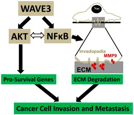 Model describing how the WAVE3-NFκB interplay modulates the molecular signaling pathways that regulate cancer invasion and metastasis.The interrelationship between WAVE3 and NFκB/Akt signaling regulates pro-survival genes to acquire chemoresistance and activates ECM degradation though the regulation of invadopodia formation and MMP9 expression and activity. The regulation of both pro-survival genes and the ECM degradation are required for the regulation of cancer cell invasion and metastasis.