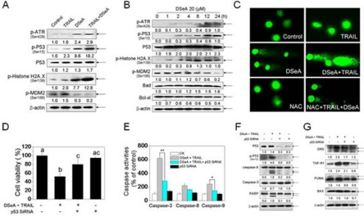 Co-treatment activated DNA damage-mediated p53-dependent apoptotic pathways in A375 cells(A) Western blot analysis of expression levels of phosphorylated ATR, p53, Histone H2A.X, MDM2 and Total p53 in A375 cells exposed to 20 μM DSeA for 24 h and/or 40 ng/TRAIL for another 24 h. (B) The time course of regulation of phosphorylated ATR, p53, Histone H2A.X, MDM2 and Total p53, Bcl-xl and Bax in A375 cells induced by DSeA. Cells were treated with 20 μM DSeA and harvested at various times. (C) Co-treatment-induced DNA damage in A375 cells. Cells after treatment were immediately analyzed by Comet assay as described in Methods. The length of tail reflects the degree of DNA damage in cells. (D, E) Protective effects of p53 siRNA on co-treatment-induced cell growth inhibition and caspases activation in A375 cells. Cells were pretreated with 50 nmol p53 siRNA for 24 h, and then treated in combination with DSeA and TRAIL. Cell viability was examined by MTT assay. Bars with different characters are statistically different at p < 0.05 level. Caspase activity was measured using synthetic fluorogenic substrate as described in Methods. Each value represents the mean ± SD of three independent experiments, *, p < 0.05; **, p < 0.01 versus the control. (F) Western blot analysis of the inhibitory effects of p53 siRNA on co-treatment-induced cell apoptosis, expression and activation of p53 and caspases.