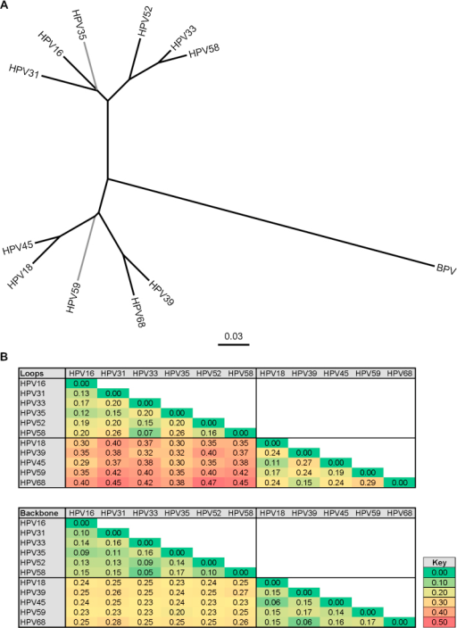 Phylogenetic relationship between the major capsid proteins of the Alpha-7 and Alpha-9 genotypes. (A) Amino acid sequences of the L1 major capsid proteins representing both VLP and pseudoviruses of the Alpha-7 (HPV18, HPV39, HPV45, HPV59, HPV68) and Alpha-9 (HPV16, HPV31, HPV33, HPV35, HPV52, HPV58) genotypes and the control BPV [20]. Radial representation of NJ tree with branches having less than 80% bootstrap (n = 500 replicates) support (HPV35 and HPV59) indicated in gray. (B) Heatmap representation of inter-genotype genetic distances based upon external surface loops only or remaining (non-loop) backbone for the L1 proteins of the indicated Alpha-7 and Alpha-9 genotypes. Key indicates heatmap gradient.