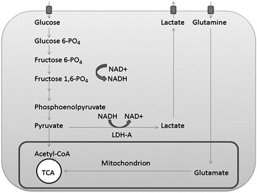 Simplified diagram containing the cellular anaerobic glycolytic pathway and tricarboxylic acid (TCA) cycle: note the regeneration of NAD+ through the glycolysis process. Some of the steps between fructose 1,6-phosphate (fructose 1,6-PO4) and phosphoenolpyruvate have been omitted for clarity.