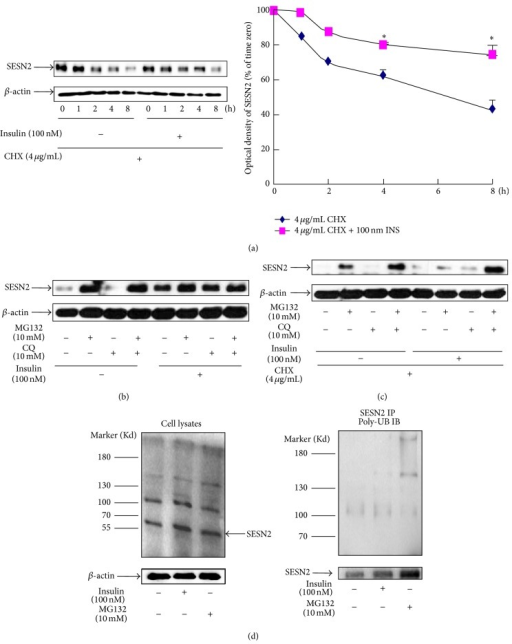 Insulin or the proteasomal inhibitor MG132 blocks SESN2 degradation. (a) HepG2 cells were pretreated with CHX for 30 min followed by a treatment with or without 100 nM of insulin (INS) for the indicated times. The cells were then lysed for SESN2 western blotting. Right panel is the plot of densitometric analysis. *P < 0.05 compared with noninsulin treatment. (b) and (c) HepG2 cells were treated with the indicated reagents for 30 min, followed by a treatment with or without 100 nM insulin for 8 h. The cells were then lysed for SESN2 western blotting. (d) HepG2 cells were incubated with or without insulin or MG132 for 18 h and the cells were lysed. Western blotting of SESN2 and β-actin (loading control) of total cellular proteins (left panel) or SESN2 immunoprecipitation followed by polyubiquitin antibody western blotting (right panel). IP indicates the immunoprecipitation antibody; IB indicates the immunoblotting antibody. Bottom panel of left panel: western blotting of the input samples. A representative blot of three independent experiments.