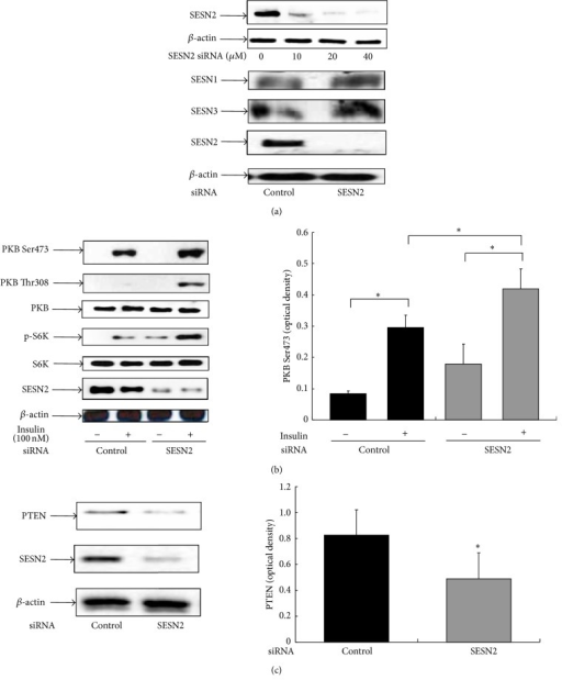 SESN2 siRNA knockdown enhances insulin signaling by repressing the PTEN level. HepG2 cells were transfected with either the control or the SESN2 siRNA for 48–72 h as indicated in Methods. (a) The cells were harvested for western blotting with indicated SESN antibodies. (b) and (c), HepG2 cells were transfected with either the control or the SESN2 siRNA for 48–72 h. The cells were then serum-starved for 4 h, followed by 100 nM insulin treatment for 15 min. Western blotting was performed with indicated antibodies. Right panels show the results of densitometric analysis. *P < 0.05 compared with noninsulin treatment.