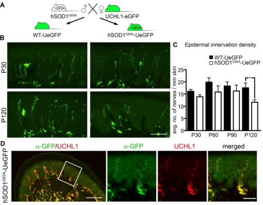 The epidermal innervation density is reduced only during disease end-stage in ALS.(A) UCHL1-eGFP reporter mice were crossed with hSOD1G93A mice to generate the hSOD1G93A-UeGFP ALS reporter mice and WT-UeGFP control mice. (B) eGFP+ axons are comparable at P30 (presymptomatic stage) between ALS reporter and control animals, but reveal a reduction in epidermal innervation density at P120 (end-stage) only in the hSOD1G93A-UeGFP mice. (C) Bar graph representation of average number of eGFP+ nerves per mm length of footpad epidermis in WT-UeGFP and hSOD1G93A-UeGFP mice at P30, P60, P90 and P120. (D) eGFP shows complete co-localization with UCHL1 expression in the hindlimb footpad of P120 (end-stage) hSOD1G93A-UeGFP mice. Bar graphs represent mean ± SEM. Student's t-test, * P < 0.05. Scale bars B, D inset 50 μm; D 200 μm.