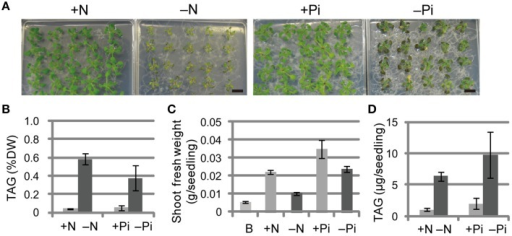 Growth phenotypes and TAG accumulation in shoots of WT Arabidopsis plants grown under Pi- or N-depleted conditions. WT plants (10 d old) were transferred to MS agar containing 1% (w/v) sucrose with (+Pi; 1 mM) or without (−Pi; 0 mM) Pi for 10 d, or with (+N; 3.5 mM) or without (−N; 0 mM) N for 7 d. (A) Growth under Pi-depleted or N-depleted conditions. Bars = 1 cm. (B) TAG levels in shoots under Pi-depleted or N-depleted conditions. DW, dry weight. (C) Shoot fresh weight under Pi-depleted or N-depleted conditions. B, before transfer to Pi- or N-depleted conditions. (D) TAG content in shoots per seedling under N- or Pi-depleted conditions. Data are the means ± SD from three independent experiments.