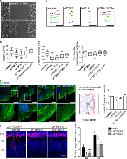 TTBK2 regulates cell migration via KIF2A. (A) Still images during wound healing of HeLa cells transfected with control or TTBK2 siRNA. TTBK2 depletion inhibited the migration of HeLa cells. (B) Migratory tracks of representative control, TTBK2-depleted, KIF2A-depleted, or TTBK2- and KIF2A-depleted cells. (C) Three parameters (migration distance, velocity, and directionality) were measured. For the control, TTBK2 depletion, and TTBK2/KIF2A double depletion, ≥150 cells from more than four independent experiments were analyzed. For KIF2A depletion or rescue with TTBK2-WT, ≥100 cells or ≥60 cells from three independent experiments were analyzed, respectively. ***, P < 0.001 (one-way ANOVA, Tukey's HSD). (D) MT organization in migrating HeLa cells during wound healing. The boxes in the top panels are enlarged in the bottom panels. MT density at the cell front was measured as the mean intensity in the region indicated. TTBK2 depletion decreased MT intensity at the cell front. The decrease in MT intensity was reversed by co-depletion of KIF2A. Single-plane images focused on the cell periphery were used for the analysis. The fluorescence intensity was quantified in >20 cells for each condition and is shown as a ratio to the control cell value. The data represent the mean ± SD of three independent experiments (total of >60 cells for each condition). ***, P < 0.001 (one-way ANOVA, Tukey's HSD). (E) The effects of TTBK2 depletion on the migration of cerebellar granule neurons in vivo. Granule neurons expressing control shRNA migrated toward the IGL through the ML, but neurons expressing TTBK2 shRNA exhibited only minimal migration. The graph shows the quantitative results. Error bars indicate the SEM. ***, P < 0.001 (one-way ANOVA). The data used for the statistical analysis were obtained from 12 slices of three brains (>300 cells). Bars: (A and B) 100 µm; (D) 10 µm; (D, magnification) 5 µm; (E) 50 µm.