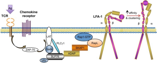 TCR-mediated integrin activation inside-out signaling. This figure outlines the key mediators in the TCR signaling-mediated integrin (LFA-1) activation pathway. ADAP and SKAP1 are two adaptor proteins involved in this pathway, functioning by synergistically recruiting RapL–Rap1–GTP complex to the integrin cytosolic tail and leading to integrin confirmation changes and membrane clustering [modified from Ref. (34)].
