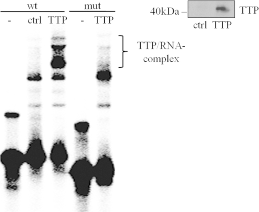 Binding of TTP to ARE located in the IL-22-3′-UTR as detected in vitro by RNA-EMSA.In vitro translated TTP was incubated together with a 32P-γ-ATP-labelled RNA oligonucleotide probe that includes the ARE5/6 region of the human IL-22-3′-UTR (see Fig. 1). In addition to this 'wildtype' (wt) oligonucleotide, a 'mutated' (mut) oligonucleotide was used lacking regular ARE sequences (see methods section). Reaction mixtures were subjected to native polyacrylamide gel electrophoresis. The brace indicates positions of retarded complexes present when the 'wildtype' but absent when the 'mutated' oligonucleotide was used. This retarded signal allegedly represents RNA/TTP complexes. Ctrl, denotes a control-in vitro translation setup with expression of an unrelated protein (firefly-luciferase) serving as control for unspecific protein/RNA interactions. Inset: Immunoblot analysis of in vitro translated TTP. One representative of three independently performed experiments is shown.