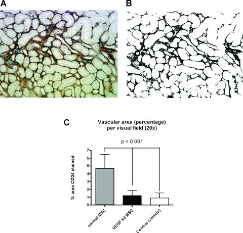 Assessment of microvessel density in renal cortex sections of rats 4 weeks after AKI. (A) CD34 staining of renal vasculature without nuclear counterstaining. (B) Binary image of (A) made with ImageJ in order to automatically determine the area percentage of the stained vessels. (C) Calculated mean vascular area (percent of section) per visual field in the renal cortex. Three 20× field per section from every group (n= 5) were randomly chosen and averages are plotted. Animals treated with regular MSCs have a significantly higher vascular area compared to VEGF knockdown MSC treated animals and controls (vehicle treated).