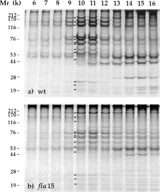 fla15 was defective for two polypeptides of the 17S sedimenting fractions from the cytoplasmic matrix of flagella. Autoradiograms of 35S-labeled polypeptides contained in sucrose gradient fractions 6–16 after separation by gel electrophoresis.  Molecular weight standards are indicated on the left. (a) Proteins  from a wild-type strain. Lines between lanes 9 and 10 indicate the  presence of components 1–13 of the two 17S complexes. (b) Proteins from fla15. Asterisks between lanes 9 and 10 indicate the  position of the two polypeptides that are deficient in fla15. Lines  indicate the rest of the subunits of 17S complexes.