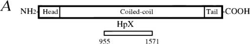 Characterization of the affinity-purified CENP-E antibody HpX. (A) Schematic drawing of CENP-E denoting the region used  to generate HpX, a fragment of 70 kD recombinant polypeptide expressed in bacteria. (B) Specificity of affinity-purified HpX antibody.  Immunoblots of mitotic whole cell lysates (lane 2, 50 μg) and isolated chromosome scaffold (lane 4, 25 μg). The same materials were  separated in SDS-PAGE and stained with Coomassie blue (lanes 1 and 3). (C) Upper panels: CENP-E is accumulated in the cytoplasm  just before nuclear envelope breakdown. Indirect immunofluorescence image of HeLa cells stained with HpX antibody (upper left),  DAPI (upper middle) and human CREST sera (upper right). CREST sera stained centromeres in both early interphase cell (arrowheads) and late interphase cells (arrows). CENP-E signal appeared only in the late interphase cells (upper left, arrows). Interphase nuclei lack CENP-E staining (arrowheads). Lower panels: CENP-E is located to kinetochores as pairs of clearly resolved double dots  (lower left, arrows), while CREST sera mark centromeres as unresolved dots (lower right, arrowhead). Bars: (upper panels) 20 μm;  (lower panels) 10 μm.