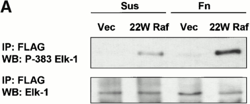 Phosphorylation and transcriptional activity of Elk-1 mediated by activated ERK are impaired in nonadherent cells. NIH 3T3 cells were transfected with FLAG–Elk-1 and either vector (Vec), 22W Raf (A), or MEK1-ΔED (B). Serum-starved cells were either replated on fibronectin-coated plates (Fn) or maintained in suspension (Sus) for 3 h. FLAG-Elk-1 immunoprecipitates (IP) were analyzed by Western blotting (WB) for levels of serine 383 phosphorylated and total Elk-1. Shown are representatives of at least three independent experiments with equivalent results. In C, cells were transfected with GAL4–Elk-1, pFR-luc reporter, and either vector or 22W Raf. After a brief serum starvation, cells were replated as above on fibronectin-coated plates (Fn) or maintained in suspension (Sus). The increase in GAL4-Elk-1 transactivation of pFR-luc during a 4-h time period was determined by assaying for firefly luciferase activity. For each experiment, three separate samples were assayed for each condition and all readings were normalized to the activity of Renilla luciferase under the control of a constitutively active CMV promoter (pRL-CMV-luc). The enhanced GAL4–Elk-1–driven luciferase activity in 22W Raf–expressing cells in adherent compared with suspended cells is statistically significant (*P < 0.05).