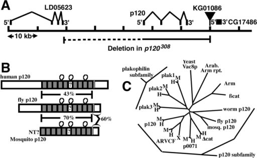 "Drosophila p120 is a member of the p120 subfamily. (A) Gene structure of p120 and the two adjacent genes, LD05623 and CG17486. KG01086, the P element insertion used to generate p120 mutants, is indicated, as is the region deleted in p120308 (uncertainty in the left boundary is indicated as a dotted line). (B) Human, fly, and mosquito p120. Gray boxes represent Arm repeats. Repeat 6, which diverges from the consensus, is indicated by a ""?"". Loops represent conserved inserts in Arm repeats. Hatched box shows conserved region of similarity. Amino acid identities in pairwise comparisons of the regions bracketed are indicated. (C) Unrooted tree of the p120 subfamily, plakophilin subfamily, and selected other Arm repeat proteins. H, human; M, mouse; X, Xenopus."