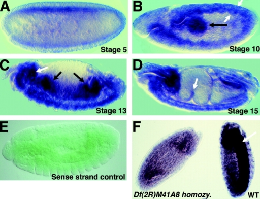 p120 mRNA is ubiquitously expressed but enriched in certain tissues. Embryos at indicated stages, probed by situ hybridization for expression of p120 mRNA (A–D and F) or with a sense strand p120 control probe (E). Anterior is to the left and dorsal is up. In B, white arrows indicate the neurectoderm and mesoderm of the germband. Certain tissues accumulate elevated levels of p120 mRNA, e.g., the posterior midgut (B, black arrow), brain and CNS (C and F, white arrows), migrating anterior and posterior midgut (C, black arrows), cells forming the midgut constriction (D, arrow). (F) Stage 14 wild-type and mutant homozygous for a deletion removing p120 (Df[2R]M41A8), showing remaining maternal mRNA.