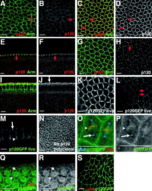 p120 localization during the syncytial development and cellularization differs from that of Arm. (A–J) Syncytial blastoderm (A and B) and cellularizing embryos (C–J). p120 (red); Arm (green). (A–D, G, and H) Surface sections. (E, F, I, and J) Optical cross sections. (A and B) Arm localizes strongly to pseudocleavage furrows, whereas p120 staining is much less intense (arrow). (C–F) Early cellularization. p120 colocalizes with Arm at basal junctions (E and F, arrows) and also stains paired structures in the cytoplasm (C and D, arrows). (G–J) Mid-late cellularization. p120 is reduced at cell junctions (H, arrow) compared with Arm (G). Arm labels basal junctions, lateral membranes, and nascent AJs (I). p120 localizes to an apical domain (J, arrow). (K–M and O–S) Embryos expressing p120-GFP. (K–M) Live images, cellularization. p120-GFP localizes to basal junctions (K and M, arrowhead), nascent AJs (L), and centrosomes (L and M arrows). (N) Syncytial embryo, rabbit anti-p120. (O and P) p120-GFP (green), propidium iodide to label DNA (red), γ-tubulin (gtub, blue). p120-GFP and γ-tubulin colocalize (arrow) and p120-GFP is on mitotic spindles (arrowhead). (Q–S) p120-GFP (green); centrosomin (cnn, red). p120-GFP is enriched at cell junctions (arrowhead) and with condensing DNA (black arrow), and colocalizes with centrosomin (white arrow). Centrosomal p120-GFP is absent by stage 9 (S). Bars, 5 μm.