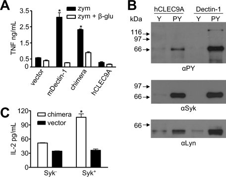 hCLEC9A can induce pro-inflammatory cytokine production and can recruit and signal via Syk kinase. A, quantitation of zymosan (zym) induced TNF production by transduced RAW264.7 macrophages, in the presence or absence of soluble β-glucan (β-glu), as indicated, demonstrating the ability of the chimeric receptor to induce proinflammatory cytokine production. Shown are the mean ± S.D. of one representative experiment of three. B, Western blotting of immunoprecipitates using phosphorylated (pY) and unphosphorylated peptides (Y) corresponding to the cytoplasmic tail of hCLEC9A or Dectin-1 from RAW264.7 cell lysates. Blots were probed with anti-phosphotyrosine (αPY), anti-Syk, and anti-Lyn, as indicated. C, IL-2 production following zymosan stimulation of Syk-deficient (Syk-) and Syk-sufficient (Syk+) cells, transduced with the chimeric receptor or vector-only control, as indicated, showing that cytokine production induced by the chimeric receptor in response to zymosan requires Syk. The data shown are the mean ± S.D. and are representative of three independent experiments. *, p < 0.05 versus control (Student's t test).