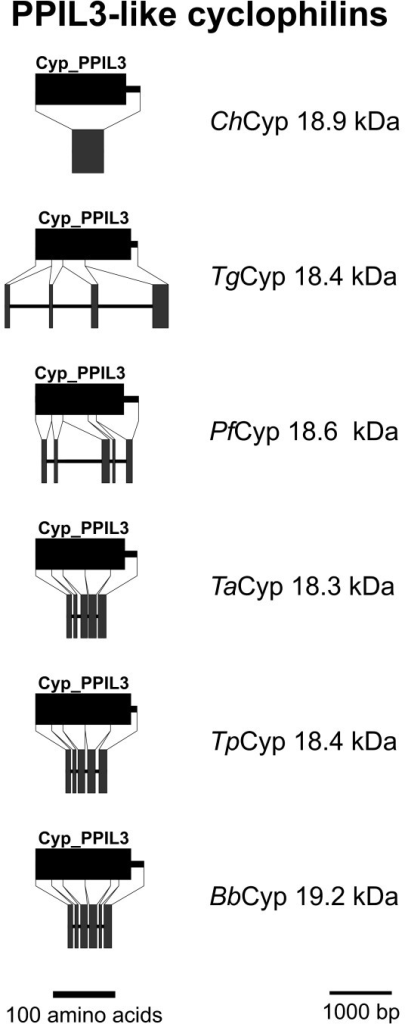 PPIL3-like Cyps. Domain architecture and genomic organization of PPIL3-like Cyps. Species are abbreviated as in Fig. 1. Cyp_PPIL3, PPIL3-type Cyp domain (CD accession-no: [cd01928]).