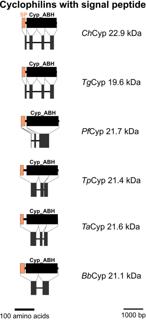 PPIA-like Cyps with signal peptide. Domain architecture and genomic organization of Cyps with signal peptide are shown. Species are abbreviated as in Fig. 1. Cyp_ABH, ABH-type Cyp domain (CD accession-no.: [cd01926]); SP, signal peptide.