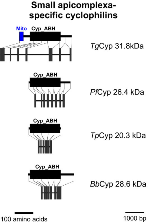 Small apicomplexa-specific Cyps. Domain architecture and genomic organization of small apicomplexa-specific Cyps. Species are abbreviated as in Fig. 1. Cyp_ABH, ABH-type Cyp domain (CD accession-no.: [cd01926]); Mito, mitochondrial localization signal.