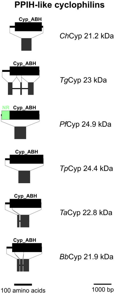 PPIH-like Cyps. Domain architecture and genomic organization of PPIH-like Cyps. Species are abbreviated as in Fig. 1. Cyp_ABH, ABH-type Cyp domain (CD accession-no.: [cd01926]); NR-rich, Asn-rich domain.
