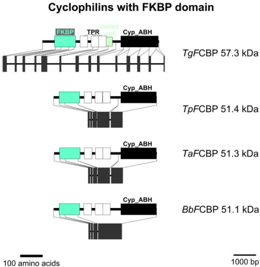 FCBP proteins. Domain architecture and genomic organization of FCBPs from apicomplexa. Species are abbreviated as in Fig. 1. Cyp_ABH, ABH-type Cyp domain (CD accession-no.: [cd01926]); FKBP, FK506-binding domain (PFAM accession-no.: [pfam00254]); TPR, Tetratricopeptide repeat (InterProScan accession-no.: [IPR001440]).