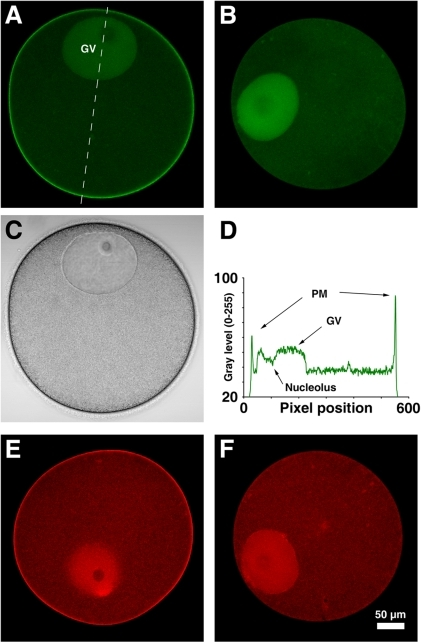 The PH domain of PLC-δ1 specifically bind to plasma membrane PI(4,5)P2 in starfish oocytes.Immature oocytes of A. aranciacus were microinjected with PH-GFP (A) or RFP-PH (E) fusion proteins (150 µM, pipette concentration), and the equatorial plane was monitored with confocal microscopy. The control proteins (R40A mutants) without the capability of PIP2-binding were not localized to the plasma membrane (B, F). (C) Bright field view of the same oocyte microinjected with RFP-PH in panel A. (D) The line intensity profile of the PH-GFP signals corresponding to the interrupted line in panel A. Abbreviation: PM, plasma membrane; GV, germinal vesicle. Scale bar, 50 µm.